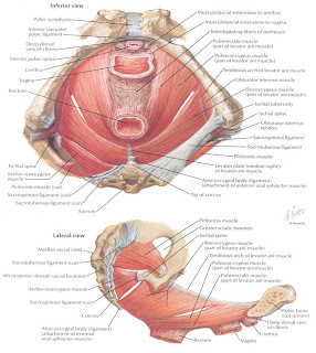 MEDICAL IMAGES: Levator ani muscles