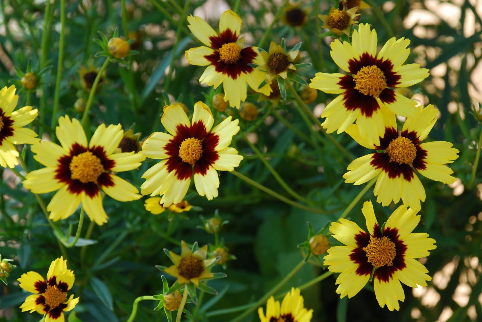 Цветок кореопсис мутовчатый фото