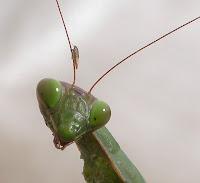 Cap de mantis