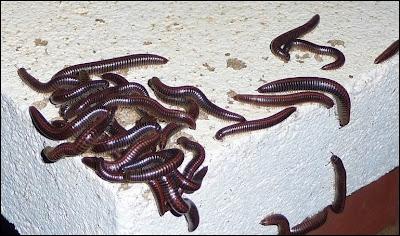 milpeus Ommatoiulus sabulosus