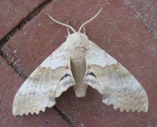 Big Poplar Sphinx Moth