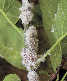 La bruja verde cochinilla algodonosa soluciones for Eliminar cochinilla algodonosa