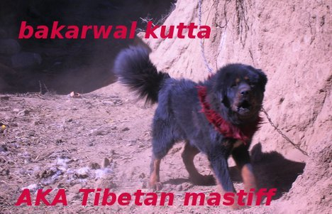 Only guard and fighting dogs pics some pakistani breed of for Terrace meaning in urdu