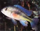 Haplochromis Red Chest Cichlid