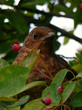 BLACKBIRD AND BERRIES ...