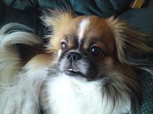 Timmi vår hund,tibetansk spaniel