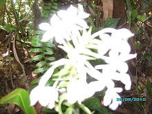Anggrel Putih
