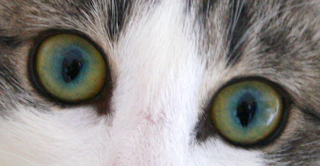 """Les yeux """"plume de paon"""" de Térébenthine"""