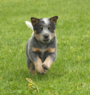 Blue Heeler Puppies on Cattle Dog Blue Heeler Or Queensland Heeler Puppy Running Jpg