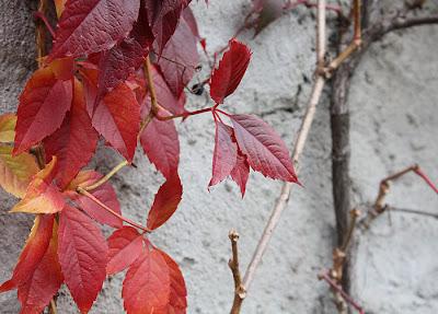 dzikie wino czyli winobluszcz
