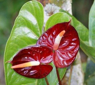 Enviflora noviembre 2010 for Anturio cuidados