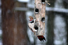 Flicker Visits a Feeder