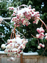 &#39;Pink Pagoda&#39; sorbus in snow