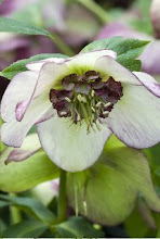 Hellebores for Winter Bloom