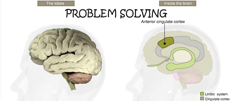 What are the 5 lobes of the brain  Answers