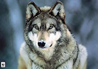 Tatiana Wilgen (Terminada) Gray_wolf_montana