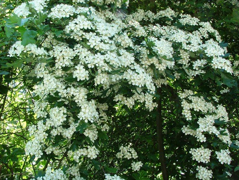 Hawthorn Tree Flowers Hawthorn Flower Cordial