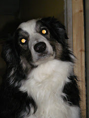 Brodie the Border Collie