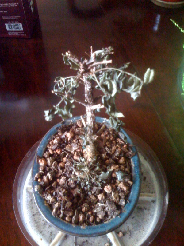 [Dead-Bonsai-Tree]