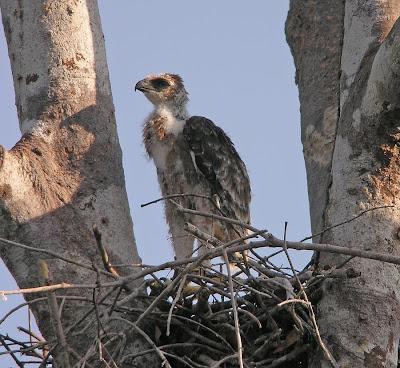 เหยี่ยวหงอนสีน้ำตาลท้องขาว Wallace's Hawk-eagle Wallace%2527s%2BHawk-Eagle_040310_DSCN9005