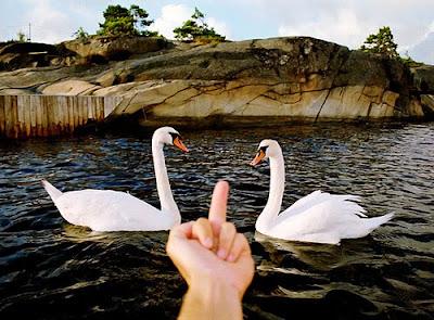 swans cisnes