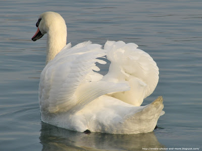 swan wallpaper. Free Swan Photo and Wallpaper