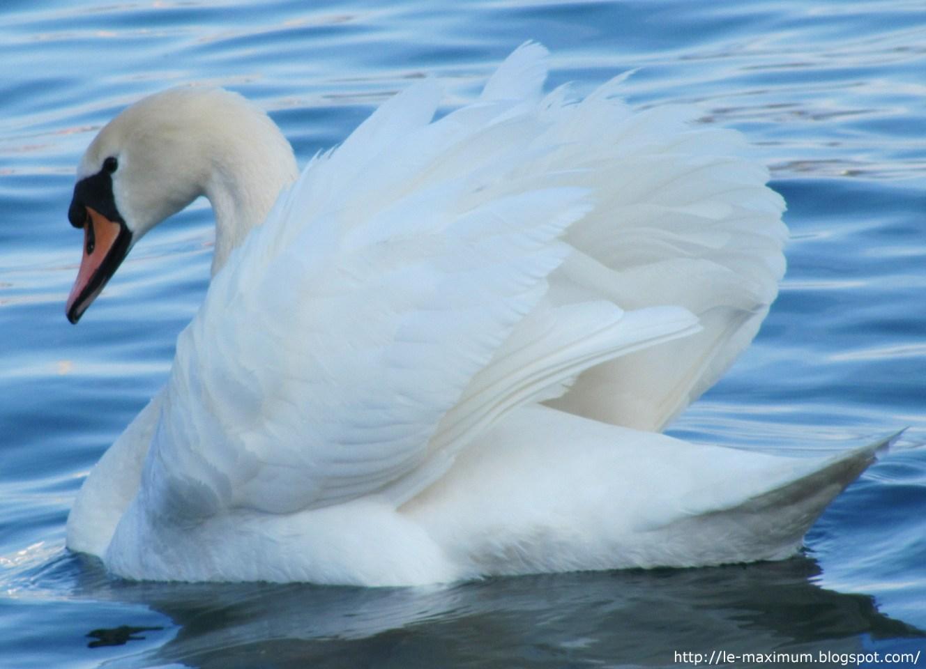 http://1.bp.blogspot.com/__HRIKfiRmp4/S6vBI39kBOI/AAAAAAAAAaw/__6B8QNbHRg/s1600/La+plus+belle+photo+de+cygne.jpg
