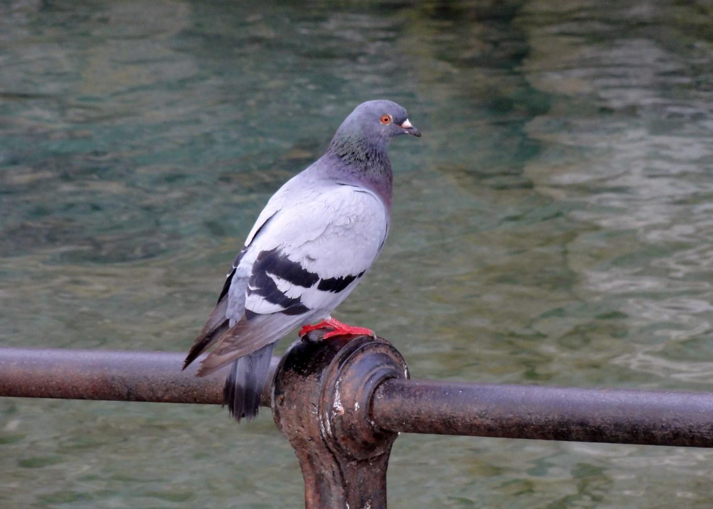 http://1.bp.blogspot.com/__HRIKfiRmp4/TRh3cSOp87I/AAAAAAAAA8A/PRb3X9S_xbk/s1600/Pigeon%2Bsur%2Bune%2Bbarre%2Bde%2Bfer.jpg