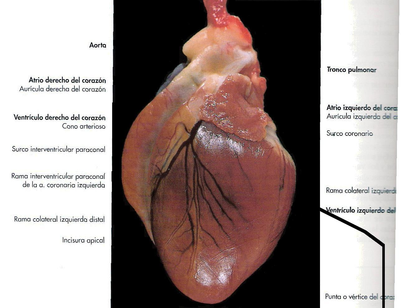 Vistoso La Anatomía Del Corazón Del Gato Regalo - Anatomía de Las ...