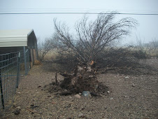 Pinon Pine that crashed in the storm