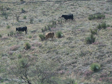 Cattle eating yucca