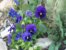 Pansies blooming like crazy
