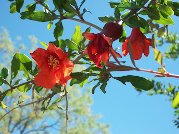 Pomegranite blooms