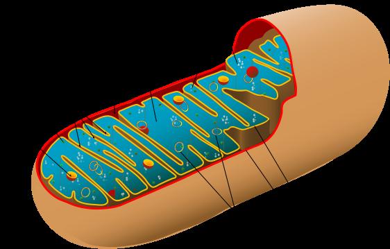 mitokondrier atp