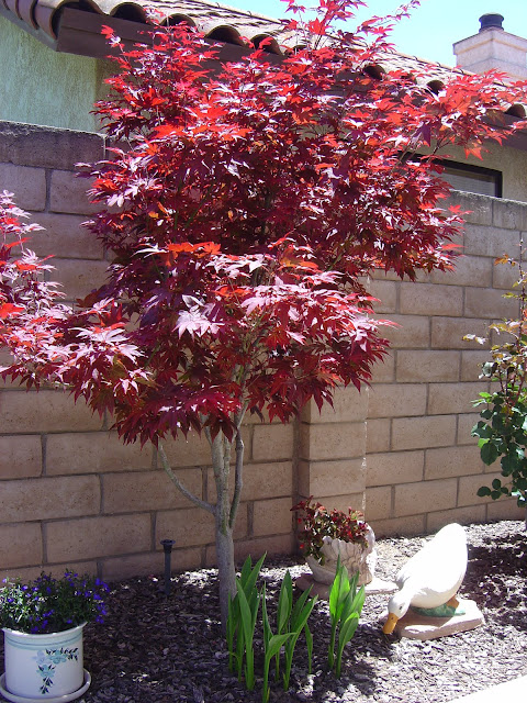Japanese Maple | organizingmadefun.com