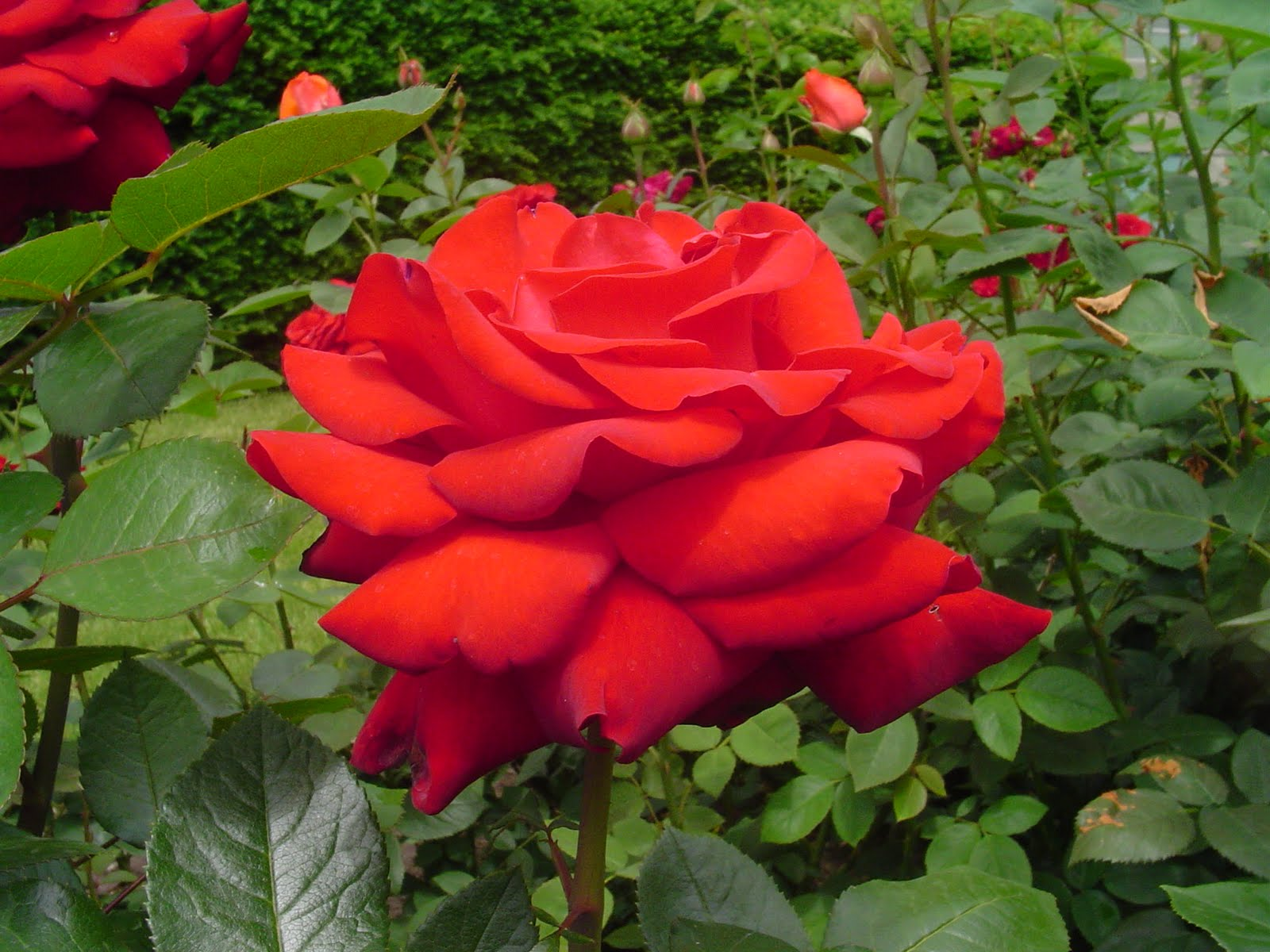 rosa indica images