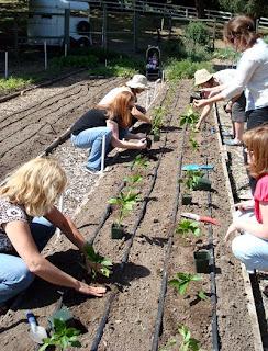 pepper plant gardening