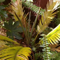 notive the new fronds in the center of the this cycad