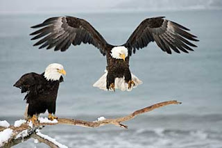 The Great  Bald American Eagle
