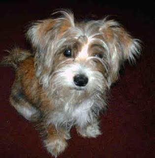 Australian Silky Terrier Breeders