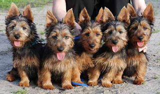 adorable australian terrier