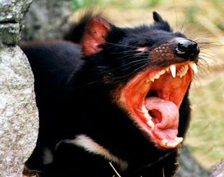 a dangerous tasmanian devil
