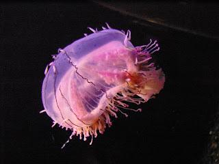 Charybdaea Periphylla jellyfish