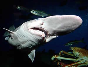 Rare Goblin Shark