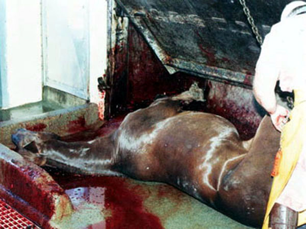 Horse slaughterhouses - photo#2