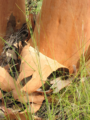 Blood Gum, Freemans Waterhole, New South Wales