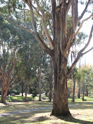 ? Gum, Manuka, Canberra, Australian Capital Territory