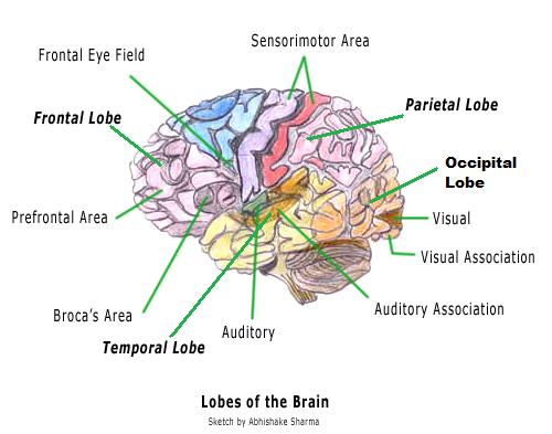 Inside The Human Brain For Kids Human Brain Diagram And