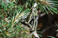 European Pine Saw Fly attack