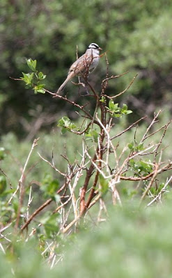 The White Crowned Sparrow is a migrant.